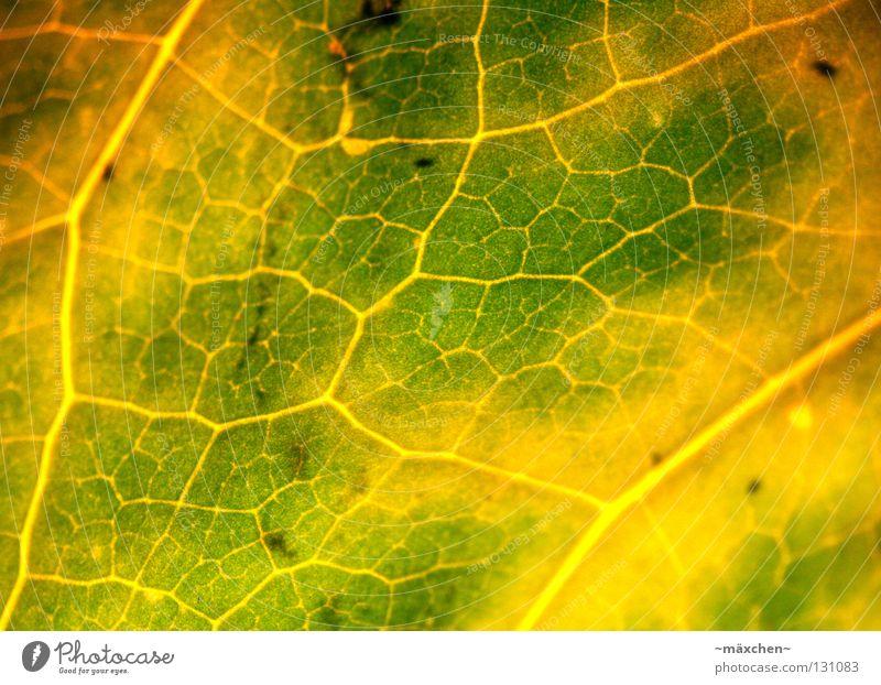 Durchblutung Photosynthese Blatt Gefäße Makroaufnahme Versorgung grün gelb braun Licht Verlauf verfaulen Luft atmen Blume Pflanze Sommer Schifffahrt