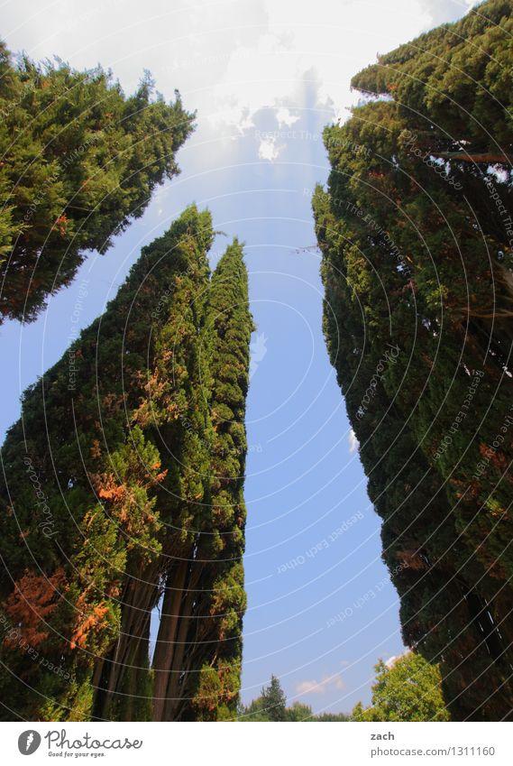 Wolkenkratzer Himmel Schönes Wetter Pflanze Baum Zypresse Wachstum groß hoch blau grün Farbfoto Außenaufnahme Menschenleer Textfreiraum Mitte Tag