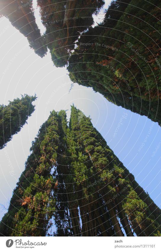 hoch hinaus | Wolkenkratzer Himmel Schönes Wetter Pflanze Baum Zypresse Wachstum groß blau grün Farbfoto Außenaufnahme Menschenleer Textfreiraum Mitte Tag