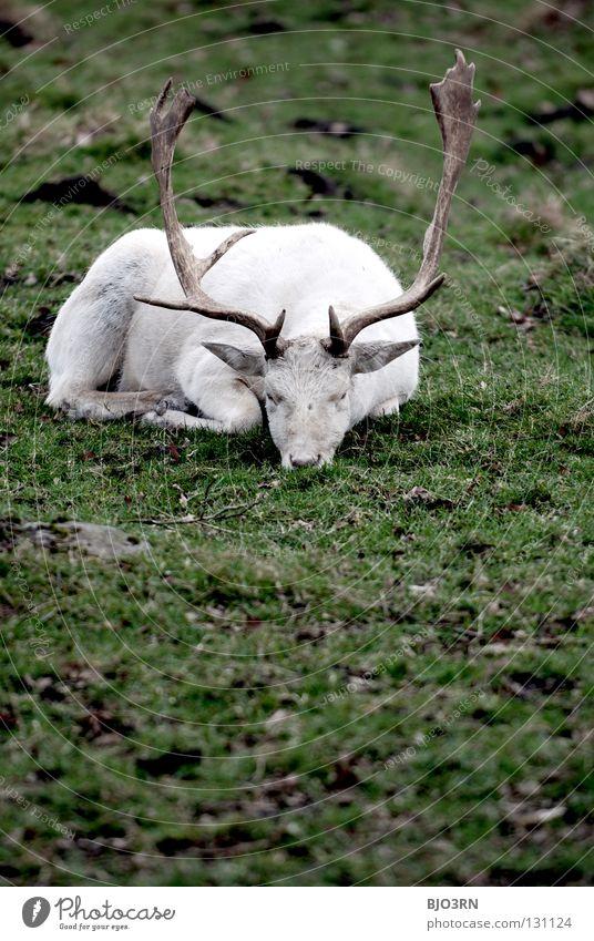 morgendliches tief weiß Tier Traurigkeit Deutschland Wildtier schäbig Bayern Säugetier Hirsche Hochformat Bock Albino Paarhufer