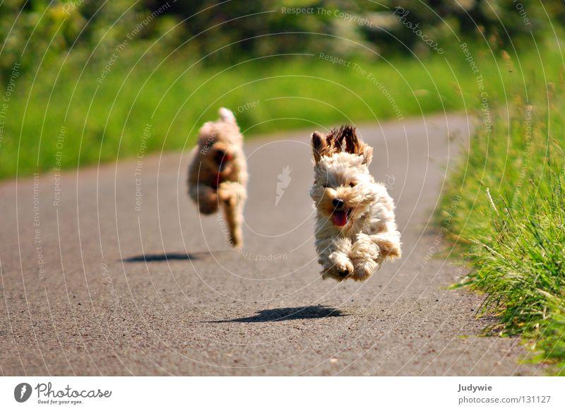 fliegende Hunde grün Freude Sommer Glück Freundschaft laufen rennen Aktion Rasen Ohr Säugetier Sportveranstaltung beige Zwerg
