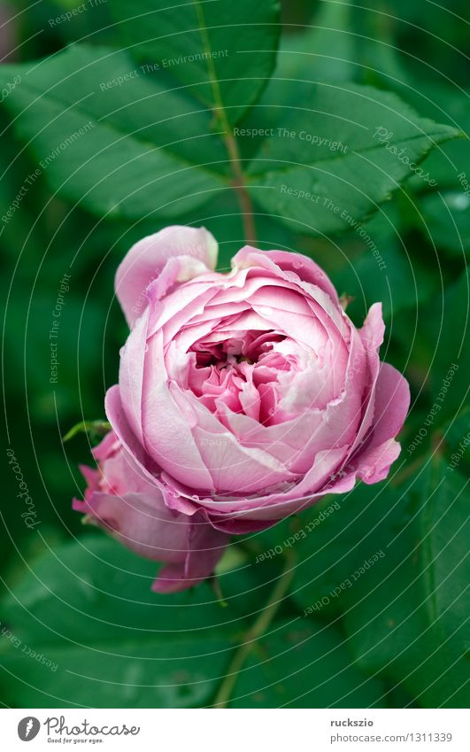 Strauchrose; La Reine; Pflanze Blume Rose rosa la reine Zierstrauch Zierstraeucher Parkrose Parkrosen Rosenblüte White rose shrub rose ornamental shrub
