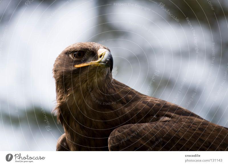 Adler bewegungslos Schnabel Greifvogel braun Haken töten Tier schön gefiedert gefangen Konzentration Vogel Feder Blick Jagd fliegen Freiheit falknerei