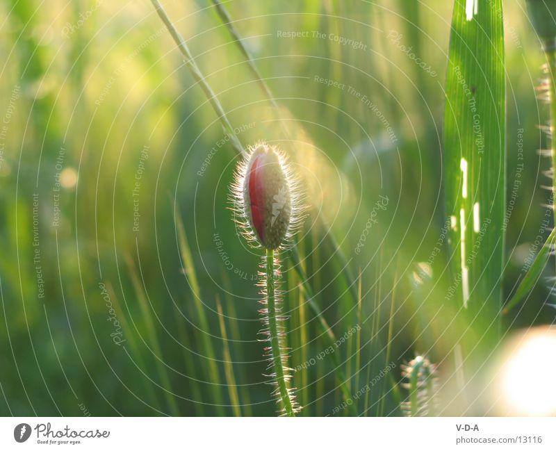 Mohnblume Natur Wiese