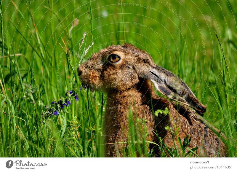 das schmeckt Natur Tier Sonne Wiese Wildtier Hase & Kaninchen 1 Fressen Farbfoto Außenaufnahme Menschenleer Hintergrund neutral Tag Licht Kontrast