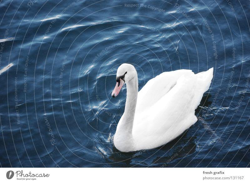 Schwanensee Wasser weiß ruhig Tier See Beleuchtung Vogel Fluss Feder Teich edel König Schwan gleiten Entenvögel