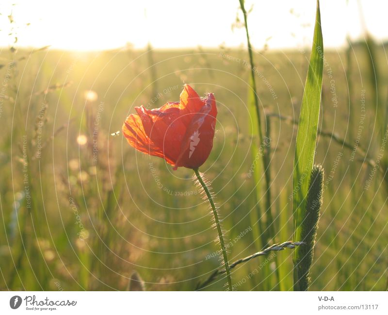 Mohnblume Natur Blume Feld