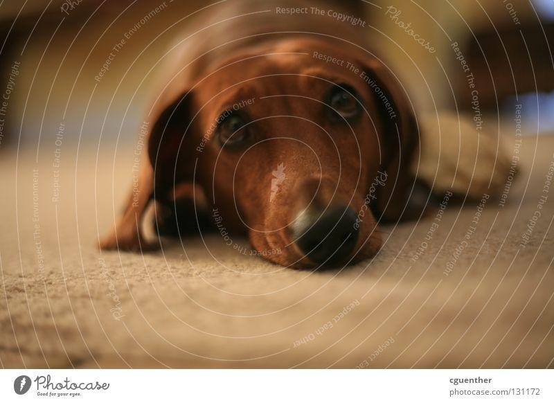 Trennungsschmerz Tier Hund Traurigkeit Trauer Fell Säugetier Haustier Schnauze Dackel
