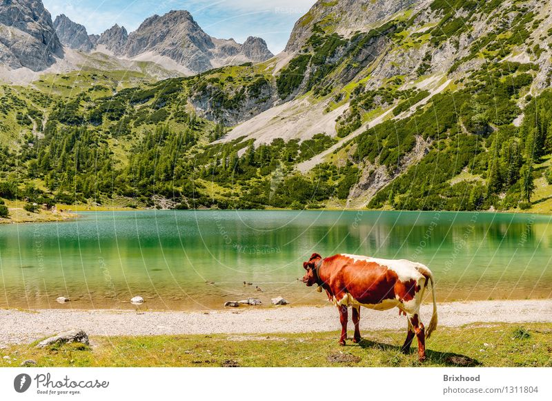 Bergsee-Panorama mit Kuh (und Enten) Natur Ferien & Urlaub & Reisen Sommer ruhig Tier Wald Berge u. Gebirge Frühling Freiheit See Felsen Tourismus wandern