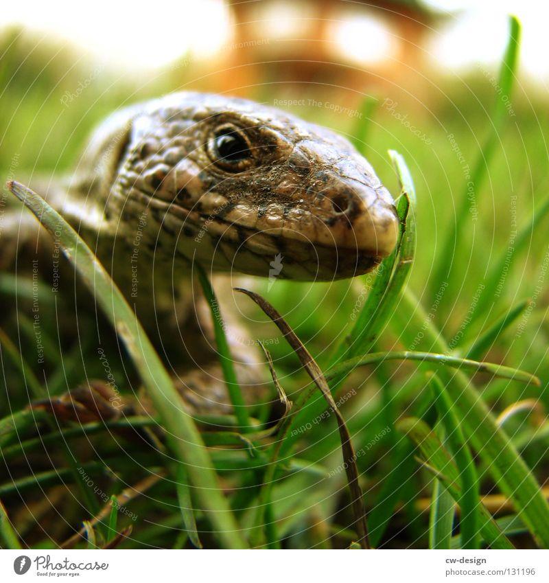 WAHNSINN SCHON IN UNSINN GARTEN Echsen Echte Eidechsen Tier Reptil Verschmitzt Unschärfe Furche Gras Halm grün Dinosaurier Leder Muster mehrfarbig Makroaufnahme
