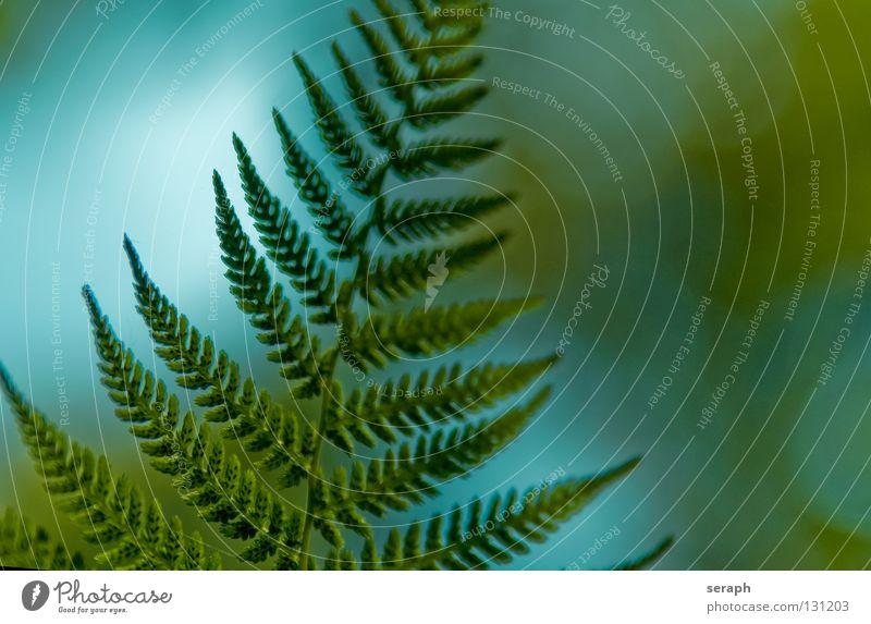 Königsfarn Natur grün Pflanze Blatt natürlich Wachstum frisch Stengel Botanik filigran Blattgrün Farn Sporen Echte Farne organisch gefiedert