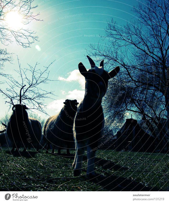 Zickenterror die zweite Cross Processing Grünstich Gelbstich Ziegen Heidschnucke Schaf Säugetier Tier Fell Wolle gefährlich Wolken Gegenlicht Baum 3 Wiese Gras