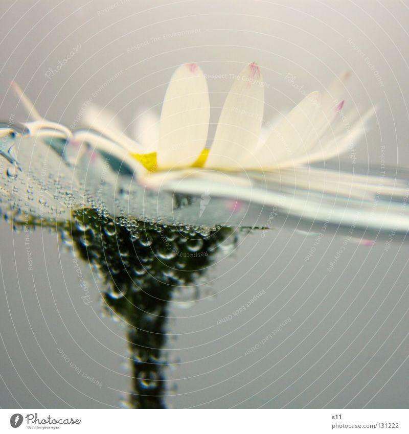 SwimmingFlower Sommer Dekoration & Verzierung Natur Pflanze Wasser Frühling Blume Blüte Wiese Flüssigkeit nass gelb grün weiß Gänseblümchen Luftblase