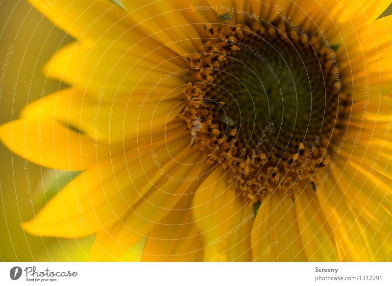 Warm Natur Pflanze Blume Sonnenblume Wiese Käfer Blühend Wachstum rund braun gelb Wärme Farbfoto Außenaufnahme Detailaufnahme Makroaufnahme Menschenleer Tag