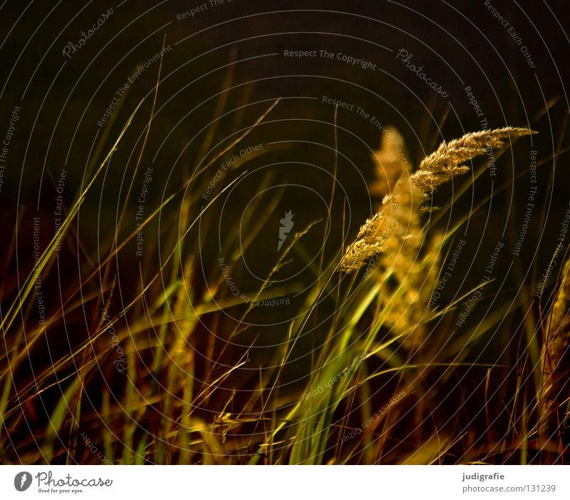 Gras grün schön Pflanze Farbe Wiese Gras glänzend weich zart Weide Stengel Halm sanft beweglich Pollen Ähren
