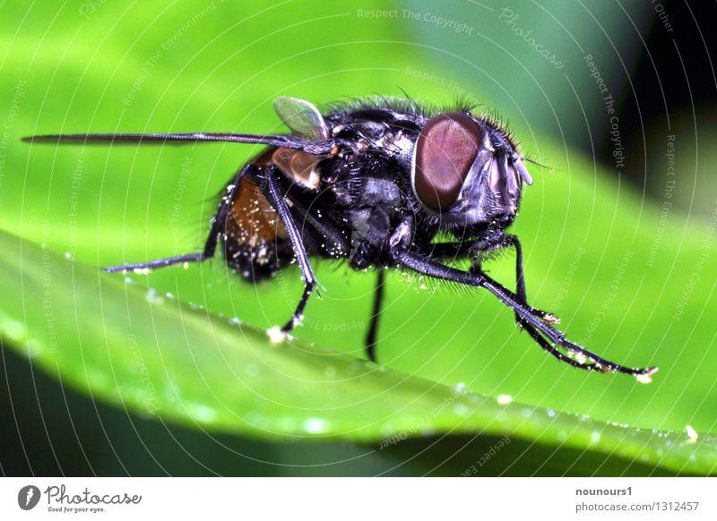 Stubenfliege Natur Tier Fliege Tiergesicht 1 Reinigen Farbfoto Nahaufnahme Makroaufnahme Tag Licht Schwache Tiefenschärfe Tierporträt Blick in die Kamera