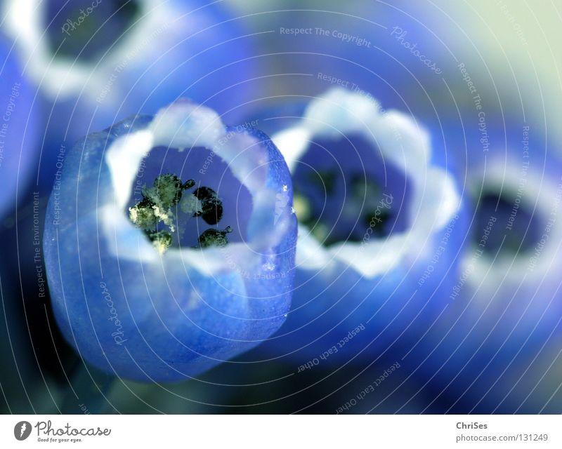 kleine traubenhyazinthe GANZ GROSS Blume blau Pflanze Blüte Frühling Pollen Stempel Glocke Staubfäden Zwiebel Nordwalde Blütenkelch Hyazinthe Traubenhyazinthe
