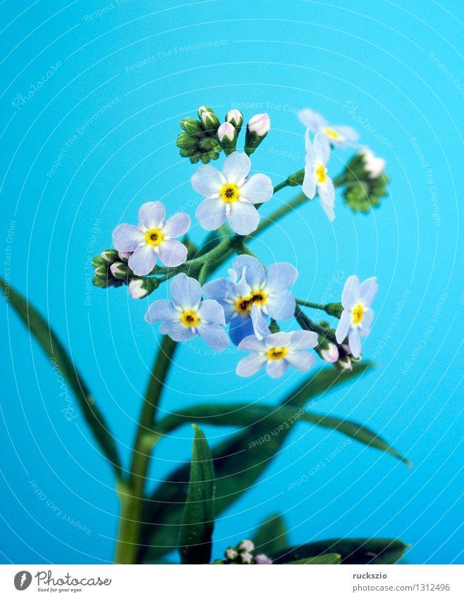Sumpfvergissmeinnicht, Myosotis palustris Natur blau Pflanze Wasser Blüte See frei Stillleben Teich eng feucht Schlag Objektfotografie Moor neutral