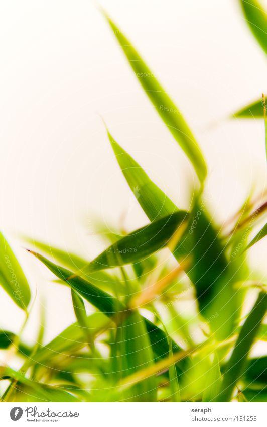 Bambus Bambusrohr Pflanze Gras Natur Wachstum grün Trieb Halm Glücksbambus Stauden Blütenstauden Samenpflanze Hintergrundbild natürlich Asien Botanik