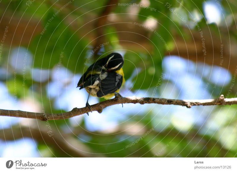 vogel Natur Vogel Ast St. Lucia