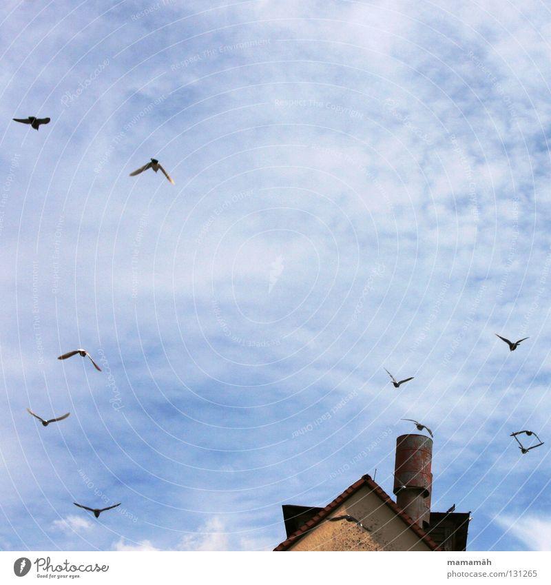Taubenpanik 1 Vogel Wolken Haus Dach fliegen erschrecken gleiten Himmel blau Schornstein Spitze Sonne Außenaufnahme Farbfoto Tiergruppe Vogelschwarm