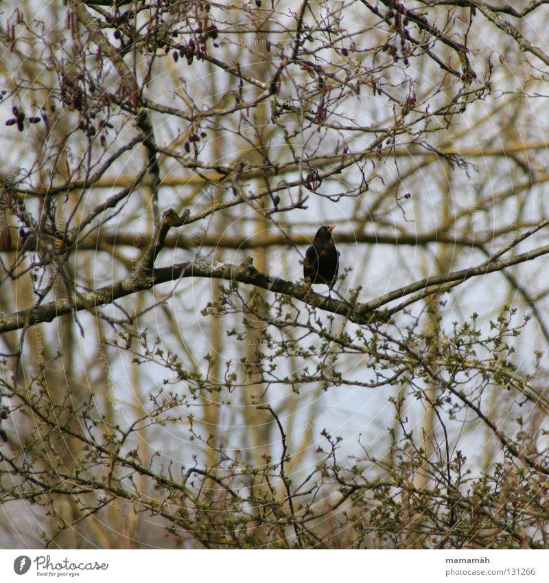 Frühlingsvogel 2 Vogel Amsel Schnabel Baum Blatt Gezwitscher orange sitzen Ast Blütenknospen Himmel Pfeifen bird