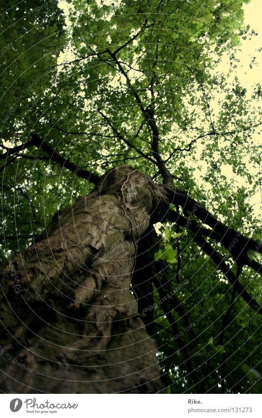 Lebensbaum. Sommer Umwelt Natur Landschaft Pflanze Erde Frühling Baum Blatt Ast Wald Holz alt Wachstum außergewöhnlich gigantisch natürlich wild grün Weisheit