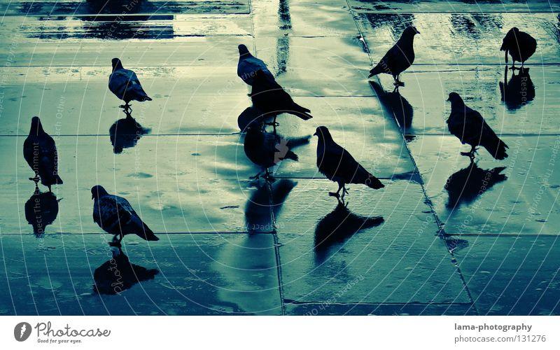 Blueprint of pigeons Taube Vogel Anhäufung Versammlung Reflexion & Spiegelung nass Pfütze Platz Schattenspiel Silhouette Stadt Gewitter Farbe Columbidae Regen