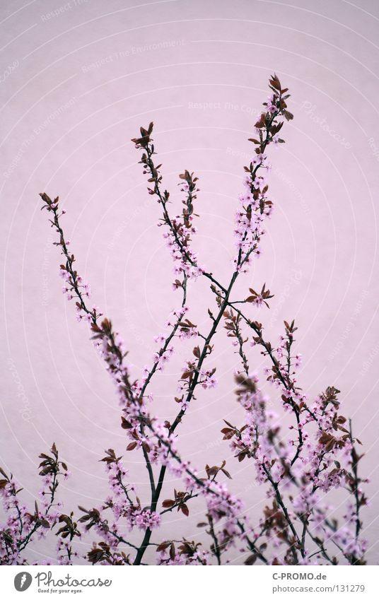 pink spring Baum Blume Leben Frühling Blüte Kunst springen rosa Sträucher zart Jungpflanze bordeaux