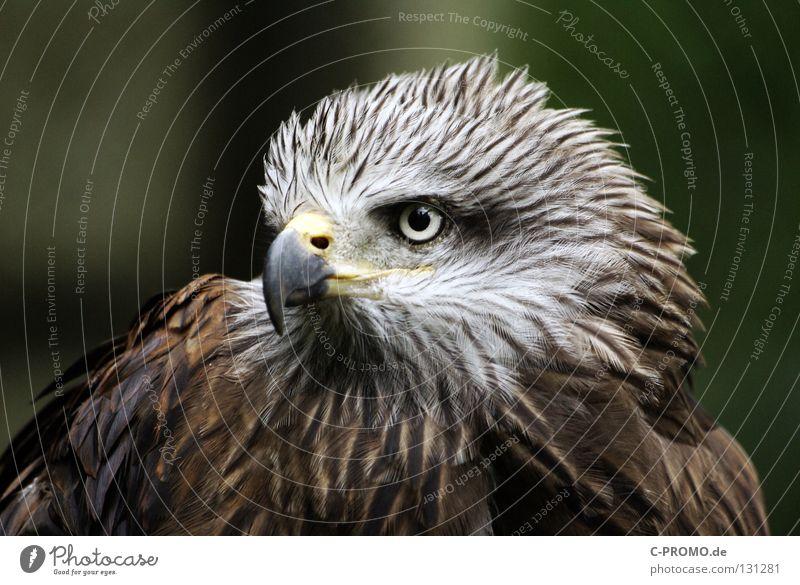 Entschlossen & mutig Adler Greifvogel Schnabel Blick Umweltschutz Wappentier Entschlossenheit Wahrzeichen nobel Konzentration schön Vogel bedrohte Tierart