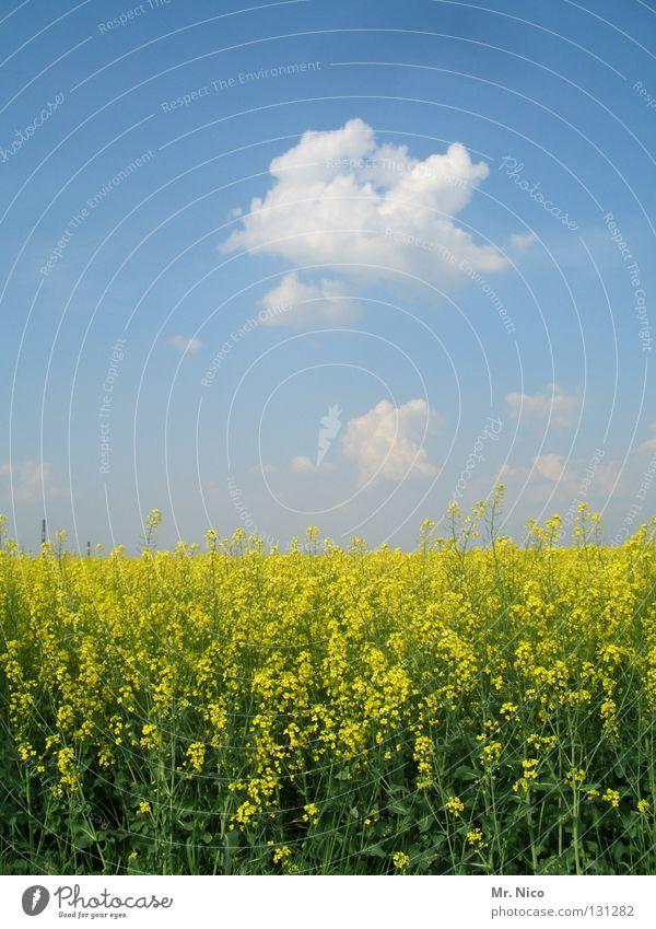 R A P S Raps Rapsfeld Landwirtschaft Rohstoffe & Kraftstoffe Rapsöl gelb grün Pflanze himmelblau himmlisch Wolken schlechtes Wetter traumhaft Feld klassisch