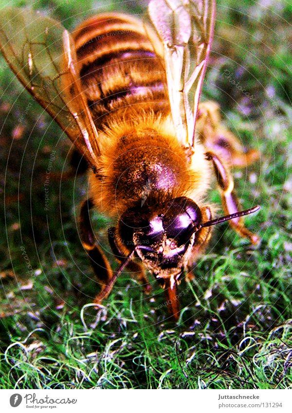 Maja auf Irrwegen grün Sommer klein Angst Flügel heiß Biene Insekt Sammlung Panik Täuschung rechnen Honig stechen Bienenstock durstig