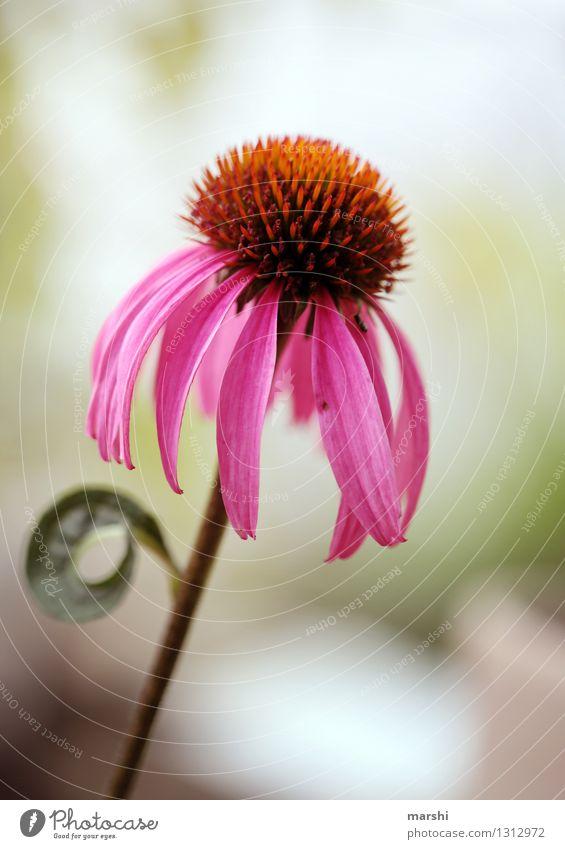 Sonnenhut Natur Pflanze Sommer Blume Blatt Blüte Grünpflanze Nutzpflanze Wildpflanze Stimmung rosa Garten Blütenpflanze Blühend Farbfoto Außenaufnahme