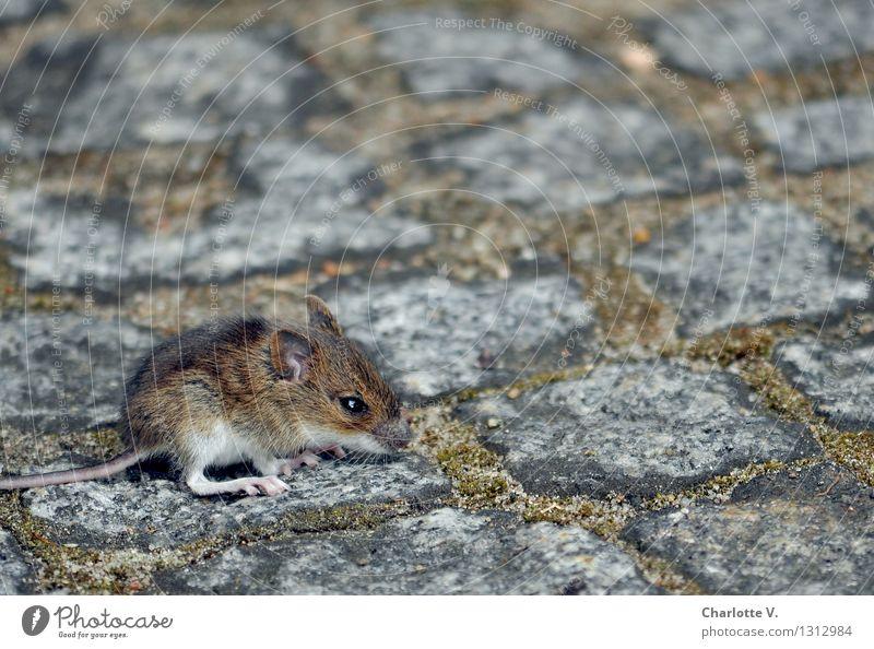 Mäusekind Tier Sommer Moos Wildtier Maus 1 Stein hocken sitzen warten kuschlig klein niedlich wild weich braun grau weiß Angst Einsamkeit Schwäche Überleben