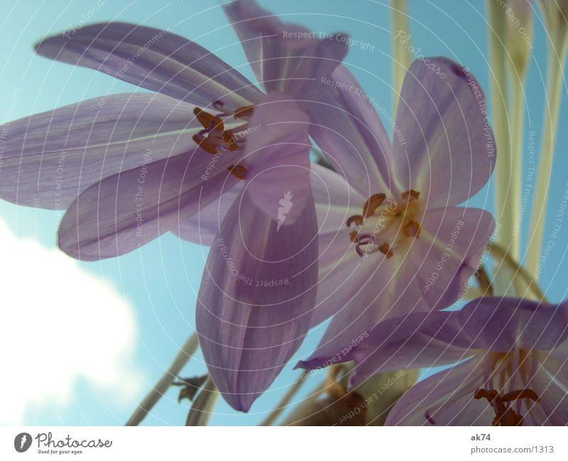 HerbstZeitLos Blüte Blume violett Himmel blau Makroaufnahme