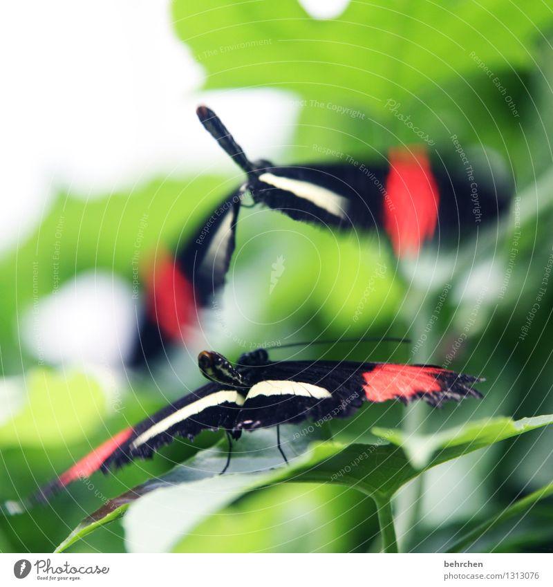 ick flieg uf dir Natur Pflanze Tier Frühling Sommer Baum Blatt Garten Park Wiese Wildtier Schmetterling Flügel Tierpaar fliegen Sex warten außergewöhnlich