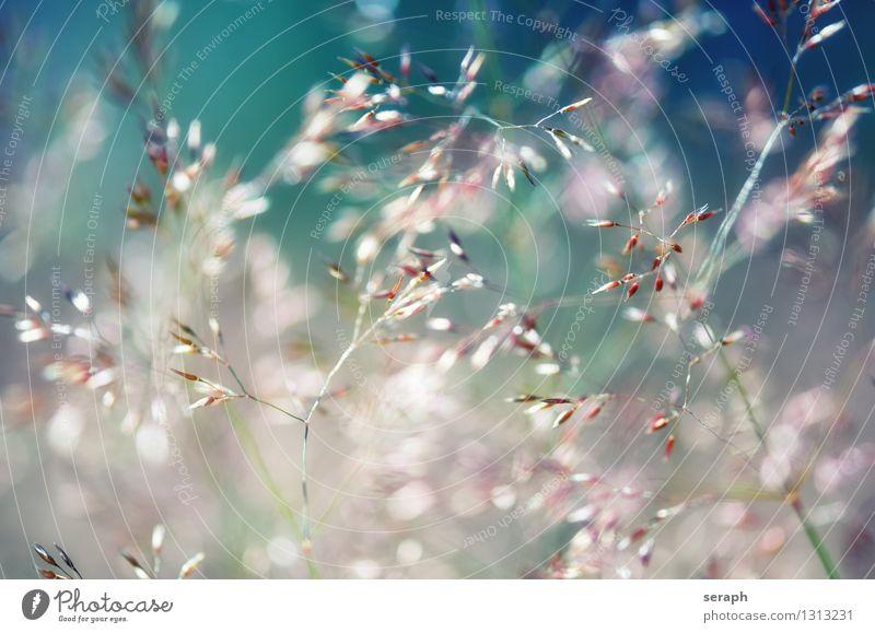 Gräser Gras Halm mehrfarbig frisch Sommer ländlich Natur natürlich Wiese Schwache Tiefenschärfe Kräuter & Gewürze Pflanze Schilfrohr Riedgras Röhricht Unkraut