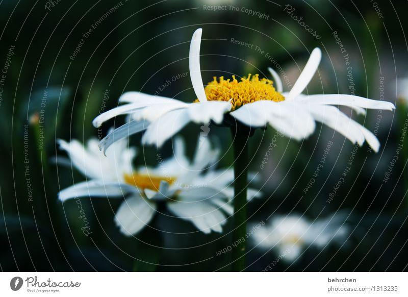 ständer Natur Pflanze Frühling Sommer Herbst Blume Blatt Blüte Margerite Garten Park Wiese Blühend Duft verblüht Wachstum schön gelb weiß Hoffnung Glaube