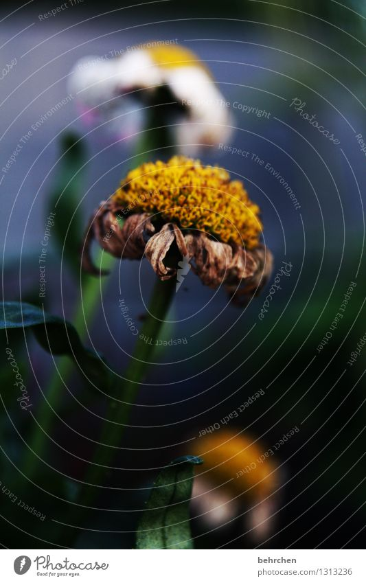 vergänglich... Natur Pflanze Frühling Sommer Blume Blatt Blüte Grünpflanze Margerite Garten Park Wiese Blühend Duft verblüht Wachstum schön blau gelb grün weiß