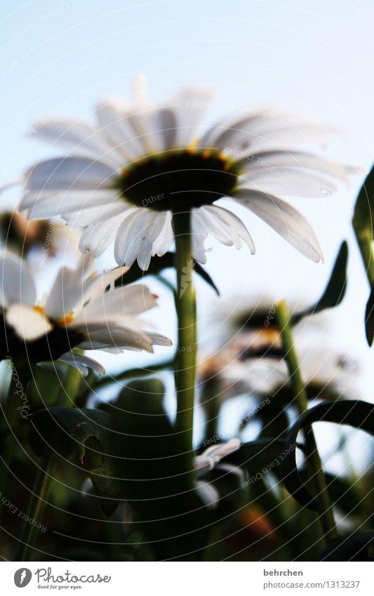 zwergenperspektive Natur Pflanze Himmel Sommer Herbst Schönes Wetter Blume Blatt Blüte Margerite Garten Park Wiese Blühend Duft verblüht Wachstum schön