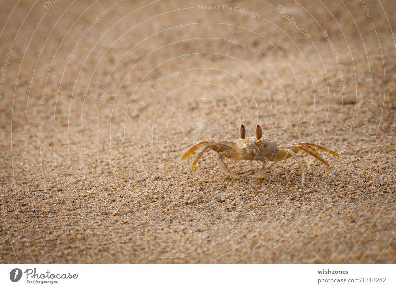 Crab on the Beach Meeresfrüchte Krabbe Tier Sand Küste Strand 1 gehen maritim Geschwindigkeit gelb gold Wachsamkeit Neugier Farbfoto Außenaufnahme Nahaufnahme