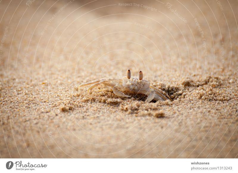 Crab on the Beach ll Natur Meer Tier Strand gelb braun Sand gold Ernährung beobachten Schutz Sicherheit Wachsamkeit Loch anstrengen Ausdauer