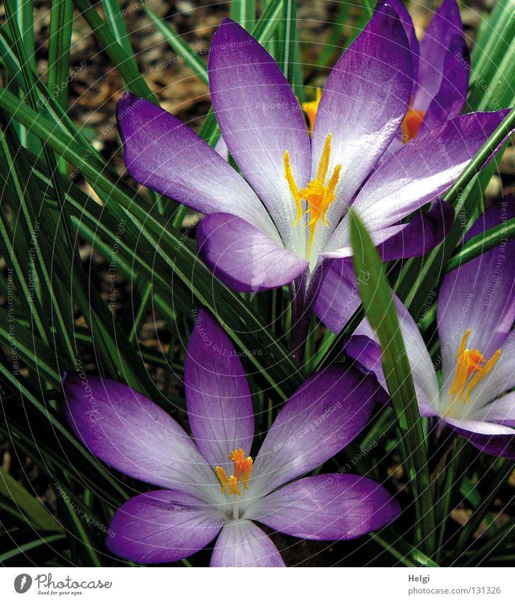 lila Frühling... Natur weiß Blume grün Pflanze gelb Blüte Frühling Park orange Erde Stern (Symbol) Wachstum Bodenbelag violett dünn