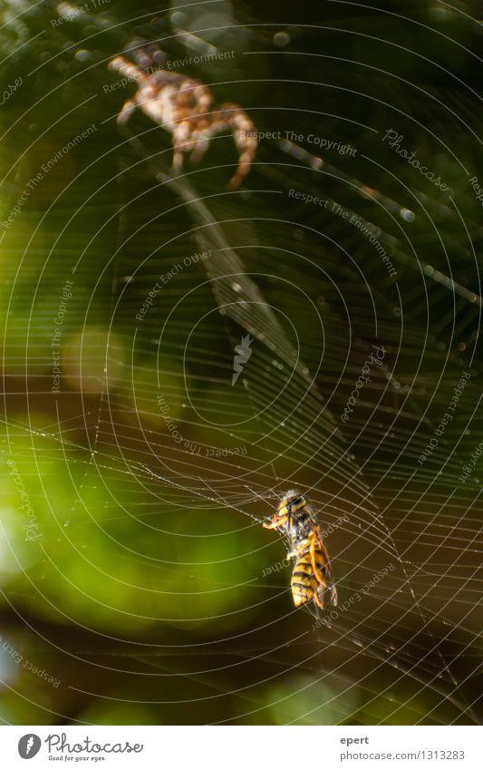 Gefundenes Fressen Tier Biene Spinne Wespen Insekt 2 Spinnennetz Netz Falle Jagd Neugier Erwartung Natur Trieb Appetit & Hunger Essen Farbfoto Außenaufnahme