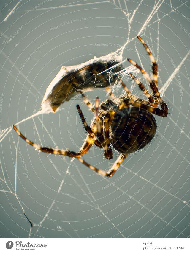 Lunchpaket Ernährung Tier Spinne Wespen Spinnennetz Netz Nähgarn Kokon Essen fangen festhalten Fressen hängen Jagd Selbstbeherrschung Genauigkeit Zufriedenheit