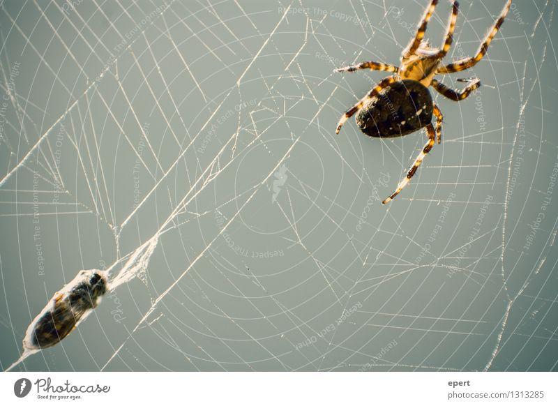 Gut abgehangen Tier Totes Tier Biene Spinne Wespen 2 Kokon Spinnennetz Netz Nähgarn fangen Jagd krabbeln bedrohlich natürlich Wachsamkeit Selbstbeherrschung