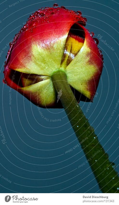 Tulpe nicht aus Holland II Niederlande Blume Pflanze Lebewesen Blüte Stengel rot Wassertropfen Tau Wiese Blumenwiese Regen Hintergrundbild Frühling Sommer