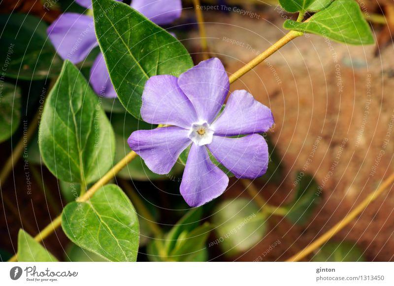 Kleines Immergrün Natur Pflanze Blume Sträucher Blatt Blüte krabbeln dünn violett Vinca minor lila Blüte Halbstrauch Boden Erde Kriechpflanze blühen zart