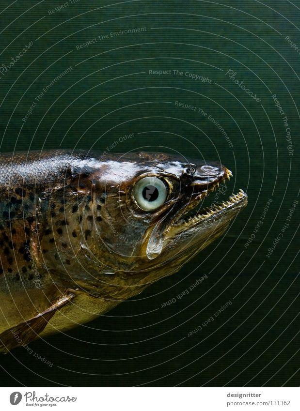 tot … Regenbogenforelle Tod töten gefangen Angeln Angelrute Haken Kescher Reuse Trauer grün mehrfarbig Raubfisch Dieb Forelle umgebracht Angelköder ins in das