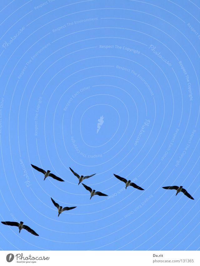 straight ahead blau Freude Ferne Freiheit Zusammensein Vogel fliegen Luftverkehr mehrere Kommunizieren Flügel Gesellschaft (Soziologie) Gans Blauer Himmel Formation Kanadagans
